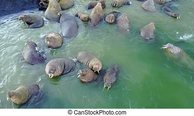 Relax of walruses on fodder base of Arctic Ocean copter aero...