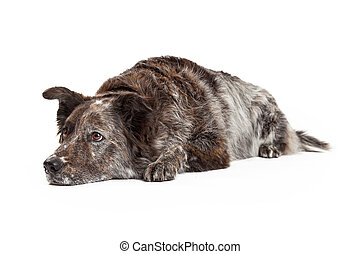 Relaxed Australian Shepherd Mix Breed Dog Laying - A very...
