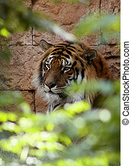Relaxed Tiger Face in A bush