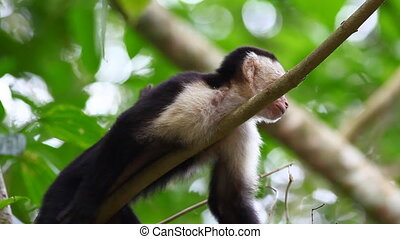 Relaxed Wild White-faced Capuchin (Cebus capucinus) - A...