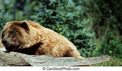 Relaxing Alaskan Brown Bear - Summer view of an Alaskan...