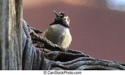 Relaxing Black Chinned Hummingbird, Archilochus alexandri