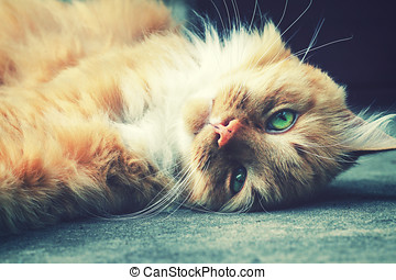 relaxing fluffy ginger cat lay down on the ground