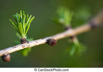 Relaxing larch greenery