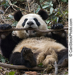 Relaxing Panda
