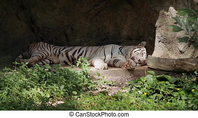 Relaxing white bengal tiger in Singapore Zoo