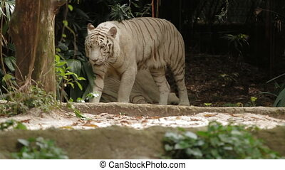 Relaxing white bengal tiger, park in Singapore.