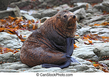 relaxing wild seal on New Zealand rocky coast