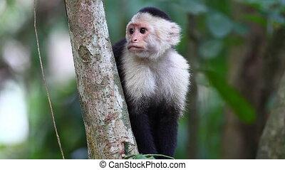 Relaxing Wild White-faced Capuchin (Cebus capucinus) monkey...