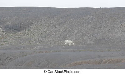 Relevant today: in summer, polar bears remain on Islands and  search of food 2