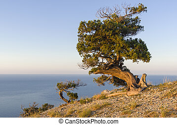 Relict junipers illuminated by the morning sun on the slope of the mountain above the sea.