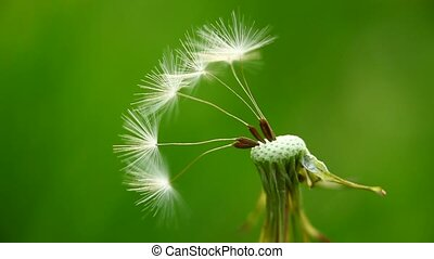 Remaining dandelion seeds - Macro of several remaining...