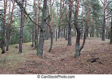 Remains of trenches lines of World War One in pine spring...