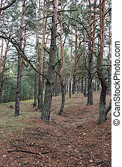 Remains of trenches lines of World War One in the pine...