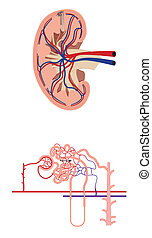 Cross section of kidney and diagram of nephron