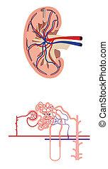 renal, sangue, fluxo