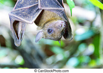 renard, chinghaiensis), chauve-souris, (pteropus, voler, ...