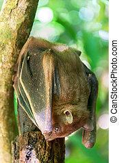 renard, chinghaiensis), chauve-souris, voler, (pteropus, ...