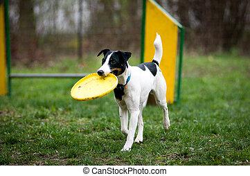 renard, frisbee, terrier