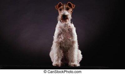 renard gris, studio, wirehaired, gradient, vue, noir, haut., contre, devant, chien tacheté, suit, fin, terrier, commande, arrière-plan., correctly., clairement, séance