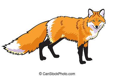 renard rouge