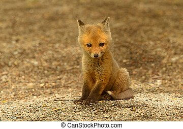 renard, rouges, kit
