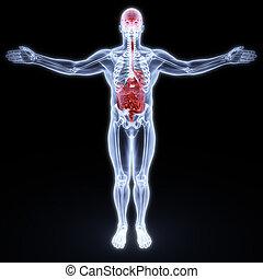 render., x-rays., cerveau, entrailles, humain, sous, 3d