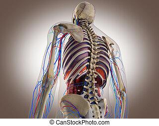 rendre, interne, intestinal, orgue, 3d