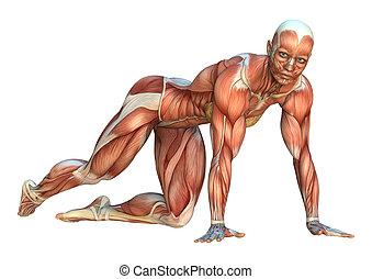 rendre, muscle, 3d, cartes