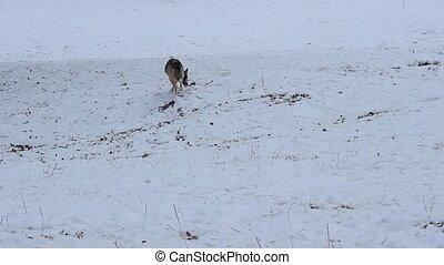 renifler, chien, nature hiver
