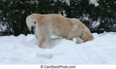 renifler, neige, chien