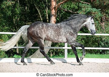 rennende , beheren, paarde, grijze