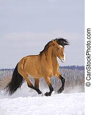 rennende , hengst, sneeuw