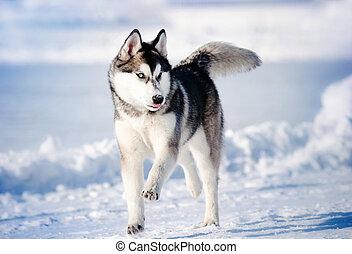 rennende , winter, hasky, dog