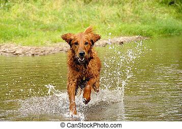 rennender , hund