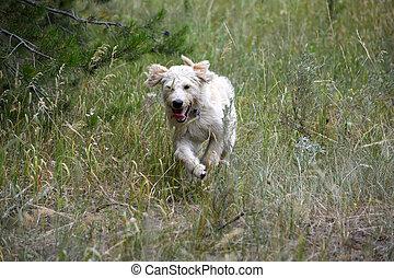 rennender, junger Hund,  labradoodle