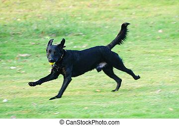 rennender , labrador, hund
