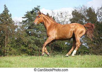 rennender , pferd, mit, schöne , kastanienbraun, auf,...
