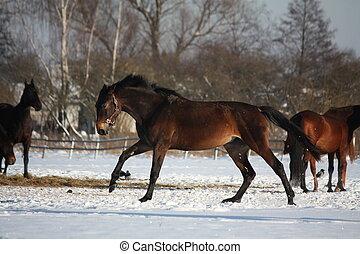 rennender , pferd, winter, frei, bucht
