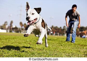 rennender , pitbull, mitten in der luft, hund