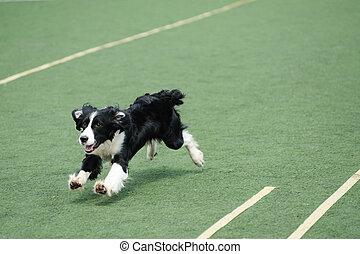rennender , rand- collie, hund