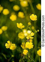 renoncule, fleur