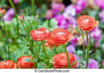 renoncule, fleurs, (ranunculus), persan