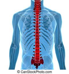 rentgen, názor, anatomie, lidská bytost trn