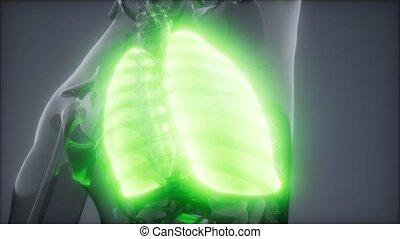rentgenologia, ludzki, egzamin, płuca