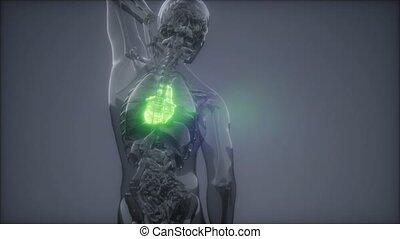 rentgenologia, ludzki, egzamin, serce