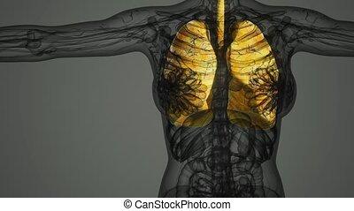 rentgenologia, płuca, ludzki, egzamin