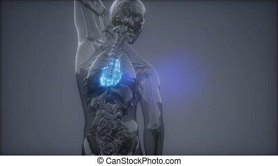 rentgenologia, serce, ludzki, egzamin
