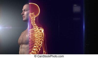 rentgenowski, ciało, medyczny, ludzki, skandować