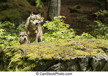 república checa, lupus, europeo, lobo, europaeischer, canis